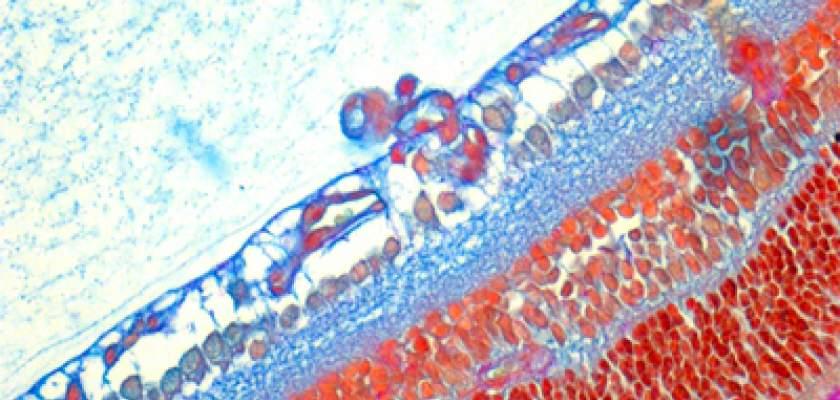 Mice retina