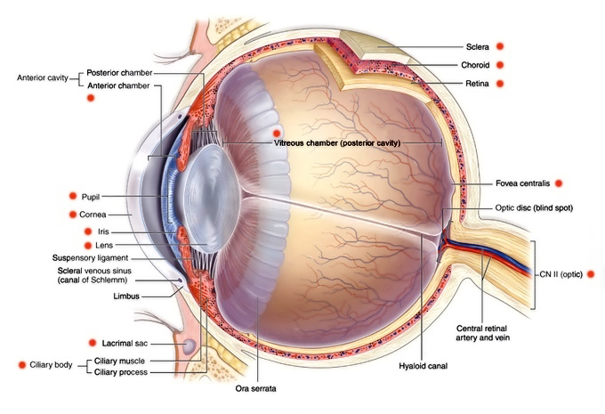 Eye anatomy and eye diagram | Iris Pharma